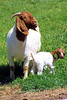 PPL - Goat Farm Visit : 2013apr26